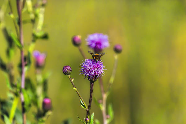 Photograph - Bumblebee Thistle by Leif Sohlman