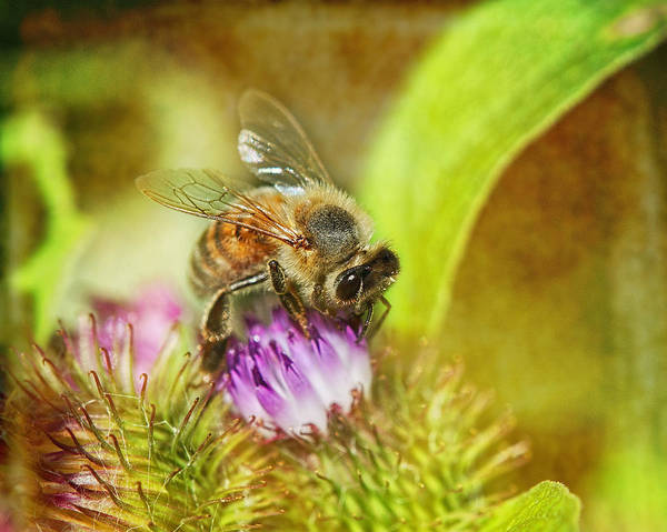 Honeybees Wall Art - Photograph - Bumbling Bee by Susan Capuano