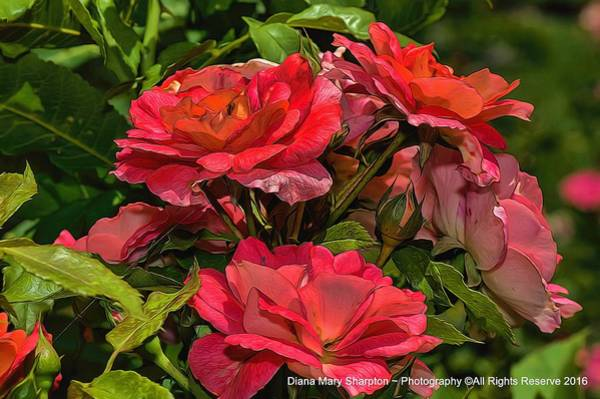 Photograph - Bunch O Roses by Diana Mary Sharpton