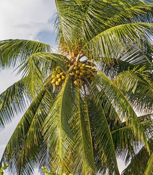 Photograph - Bunch Of Coconuts by Bob Slitzan