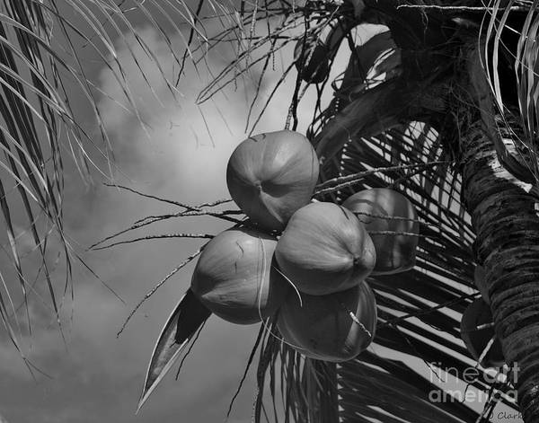 St. Lucia Photograph - Bunch Of Coconuts by John Clark