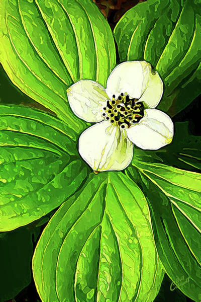 Photograph - Bunchberry Blossom by ABeautifulSky Photography by Bill Caldwell