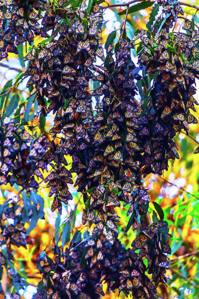 Hibernation Wall Art - Photograph - Bunches Of Monarchs by Garry Gay