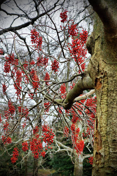 Photograph - Bunches Of Red Berries by Cate Franklyn