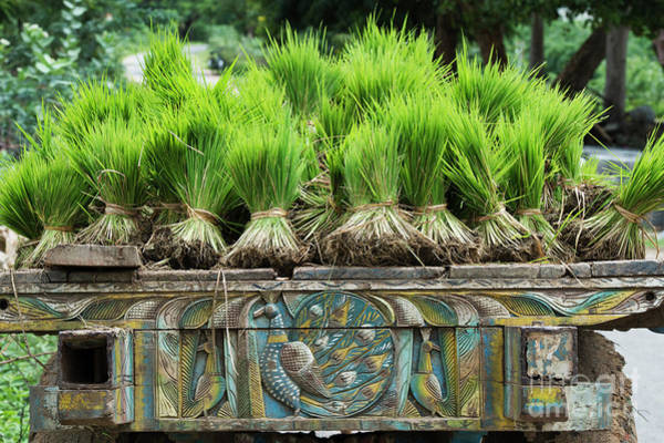 Photograph - Bundles Of Rice Plant Seedlings by Tim Gainey