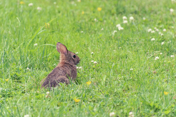 Cottontail Photograph - Bunny In The Field by Sandi Kroll