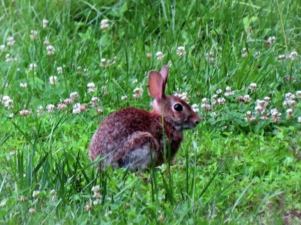 Photograph - Bunny In The Meadow by Cynthia Guinn