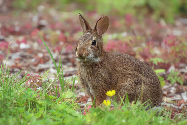 Cottontail Photograph - Bunny by Sandi Kroll
