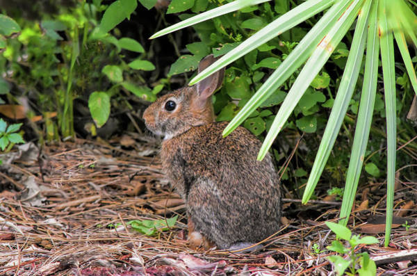 Sylvilagus Floridanus Photograph - Bunny Under Branches by William Tasker