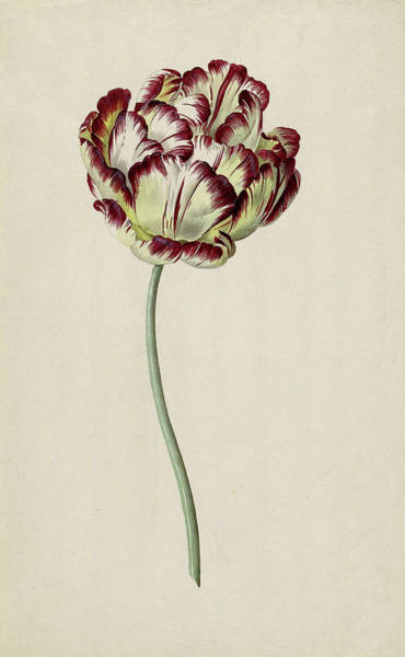 Burgundy Painting - Burgundy Tulip by Unknown artist