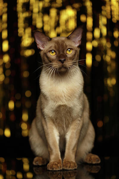 Cat Photograph - Burmese Cat Sits On New Year Background by Sergey Taran