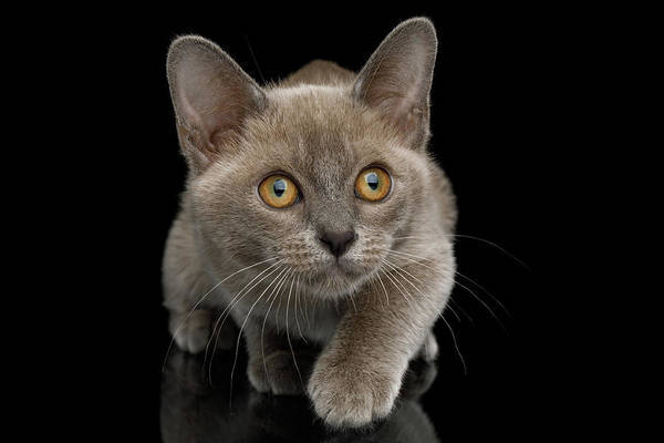 Photograph - Burmese Kitten Hunts by Sergey Taran