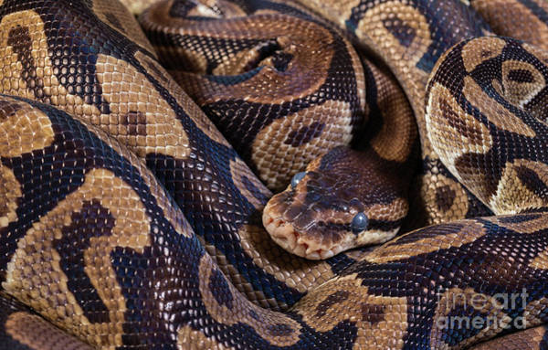 Photograph - Burmese Pythons by Les Palenik