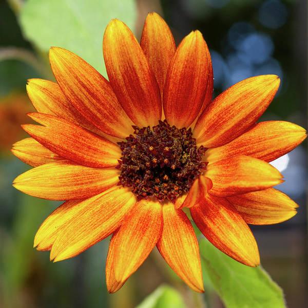 Photograph - Burnt Orange Sunflower by SR Green