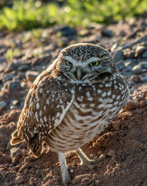 Photograph - Burring Owl At Sunrise 2 by Teresa Wilson