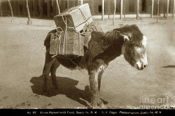 Photograph - Burro Packed With Fruit, Santa Fe, New Mixco, D. B. Chase Photo by California Views Archives Mr Pat Hathaway Archives