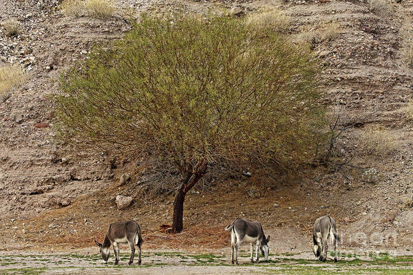 Wall Art - Photograph - Burro Tree by Rick Mann