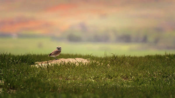Photograph - Burrowing Owl 2 by Susan Rissi Tregoning