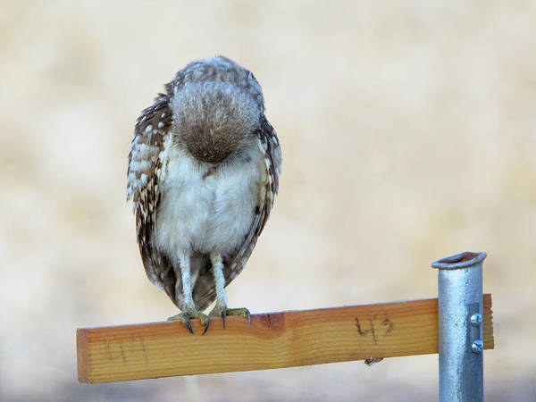 Photograph - Burrowing Owl 2177-080318-1cr by Tam Ryan