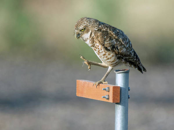 Photograph - Burrowing Owl 2188-080318-1cr by Tam Ryan