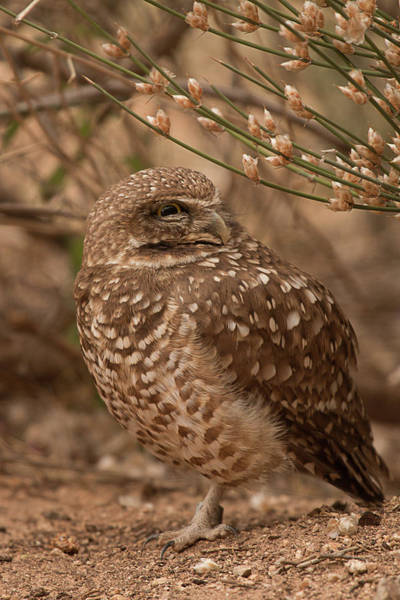Photograph - Burrowing Owl 4606 by Teresa Wilson