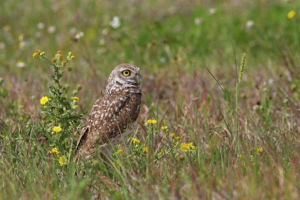 Photograph - Burrowing Owl And Flowers by Paul Rebmann