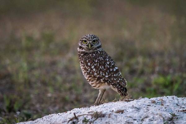 Photograph - Burrowing Owl At Dusk #2 by Framing Places