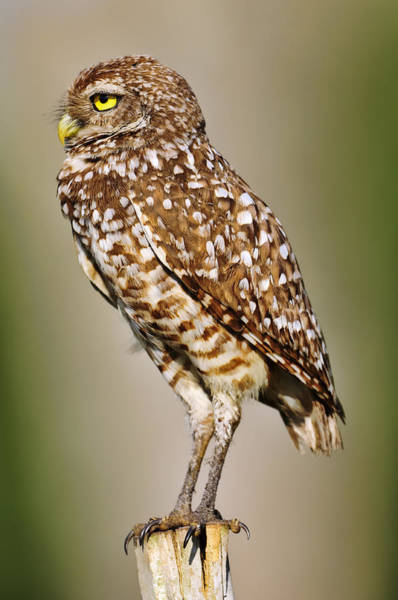 Photograph - Burrowing Owl by Bill Dodsworth