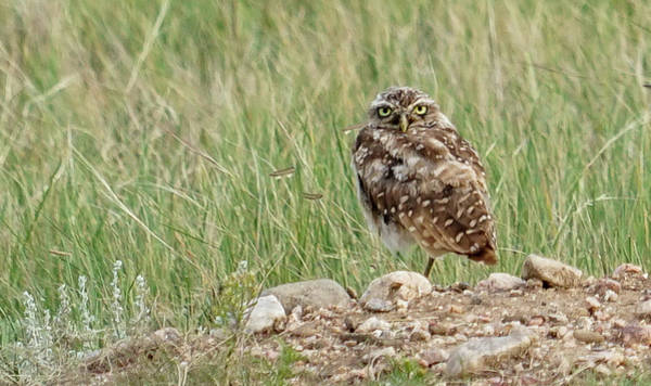 Photograph - Burrowing Owl by Bill Gabbert