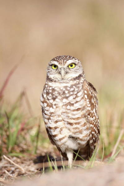Photograph - Burrowing Owl by Brian Magnier