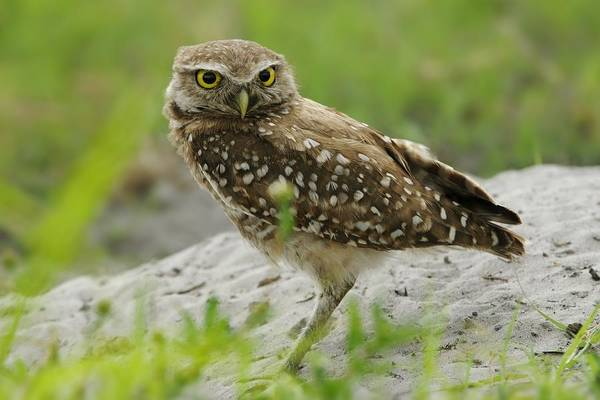 Photograph - Burrowing Owl By Burrow Mound by Bradford Martin