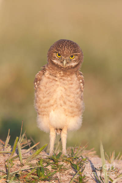 Photograph - Burrowing Owl Fledgling I by Clarence Holmes