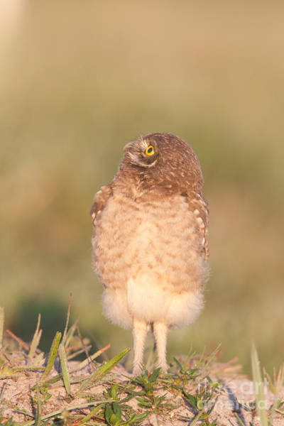 Photograph - Burrowing Owl Fledgling II by Clarence Holmes