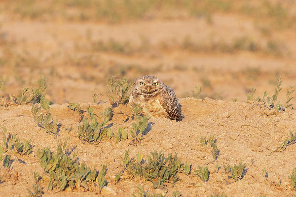 Photograph - Burrowing Owl Gets Serious by Tony Hake