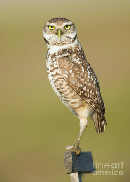 Photograph - Burrowing Owl I by Clarence Holmes