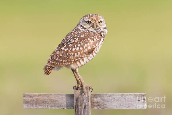 Photograph - Burrowing Owl IIi by Clarence Holmes