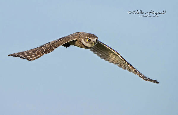 Photograph - Burrowing Owl In Flight by Mike Fitzgerald