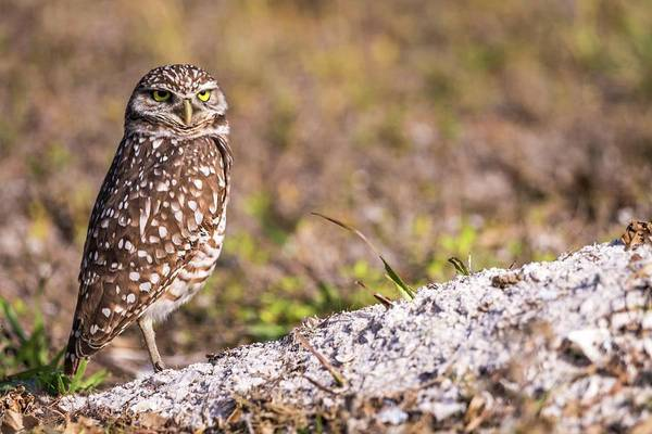 Photograph - Burrowing Owl In The Morning by Framing Places