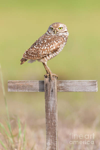 Photograph - Burrowing Owl Iv by Clarence Holmes