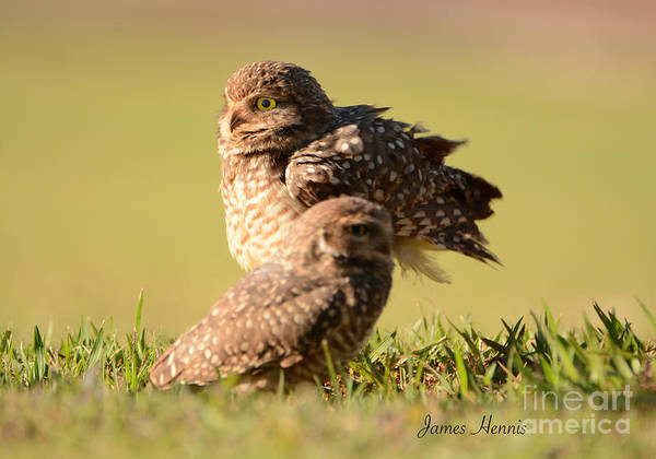 Photograph - Burrowing Owl by James Hennis