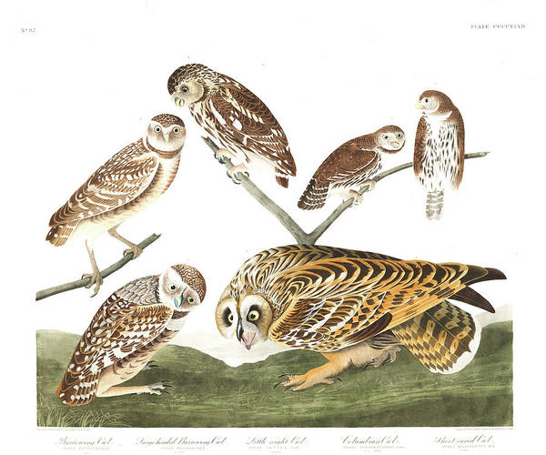 Wall Art - Painting - Burrowing Owl by John James Audubon