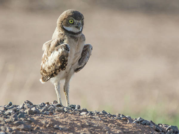Photograph - Burrowing Owl Juvenile 2235-080318-1cr by Tam Ryan