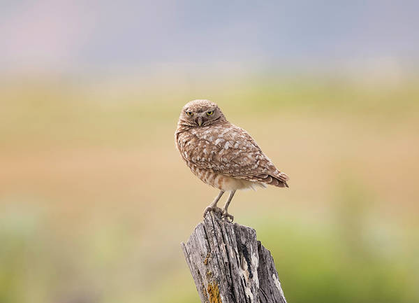 Photograph - Burrowing Owl On A Post by Loree Johnson