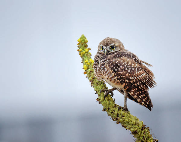 Photograph - Burrowing Owl On Mullein by Judi Dressler