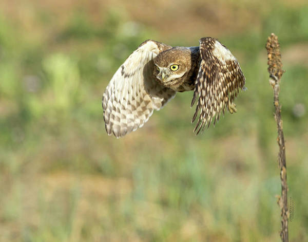 Photograph - Young Burrowing Owl On The Hunt by Judi Dressler