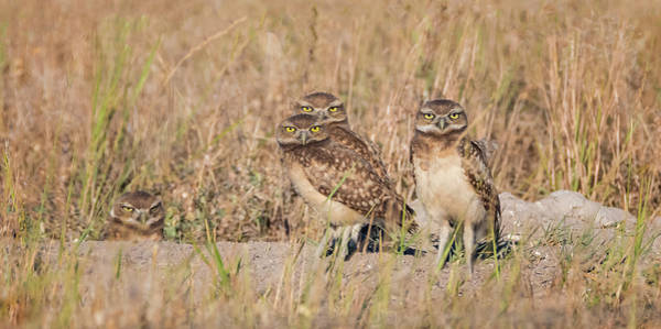 Photograph - Burrowing Owl Party by Loree Johnson