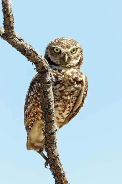Photograph - Burrowing Owl Perch by Wes and Dotty Weber