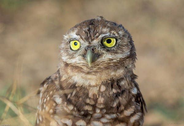 Photograph - Burrowing Owl Portrait by Judi Dressler