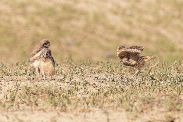 Photograph - Burrowing Owl Shows Off For Her Owlets by Tony Hake