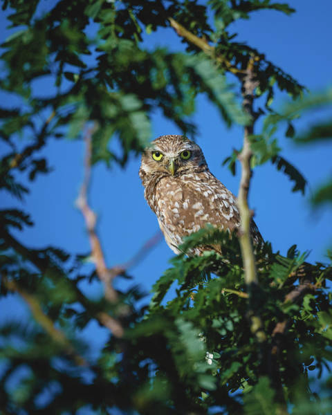 Photograph - Burrowing Owl Sitting In A Tree by Gloria Anderson